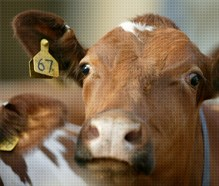 What is a cattle passport?