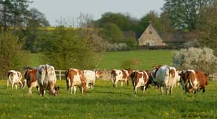 Ayrshire cows grazing