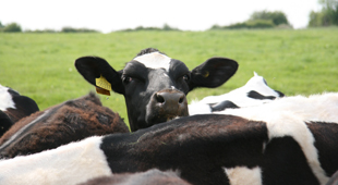 Cows live for more than six years