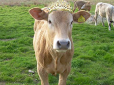 The Collective to crown 'Cow of the Year' in special beauty pageant for cows